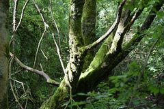 Dolt träd för mossa, Mendip kullar arkivbild