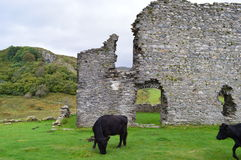 Dolwyddelan Castle. In Wales with resident cows Royalty Free Stock Photography