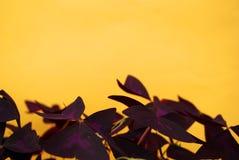 Dom kwitnie nad żółtym tłem Zdjęcie Stock