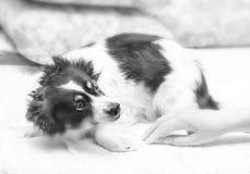 Dom okaleczający pies zdjęcie royalty free