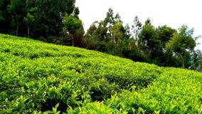 Domaine de thé photo stock