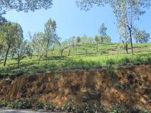 Domaine de thé au Sri Lanka Photos stock