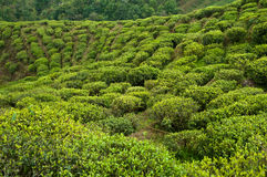 Domaine de thé dans Darjeeling Photos libres de droits