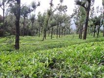 Domaine de thé de Nilgiri image stock