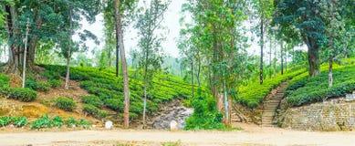 Domaines de thé dans Sri Lanka images libres de droits