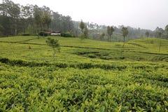 Domaines de th? du ` s de Sri Lanka Arbre, feuille image stock