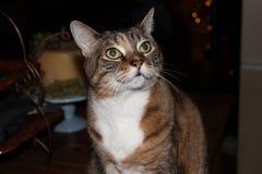 Domandarsi del gatto Fotografia Stock Libera da Diritti