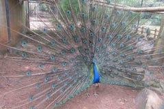 Domandarsi indiano del sud del pavone Fotografie Stock Libere da Diritti
