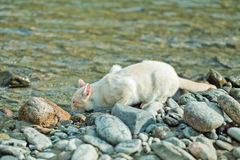 Domastic cat drinking from the river on the shore Stock Photography