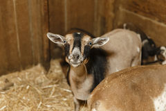Free Domastic Goats At County Fair Stock Images - 32854744