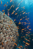 Dome coral and anthias in the Red Sea. Royalty Free Stock Image