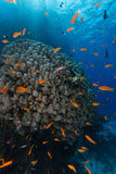 Dome coral and anthias in the Red Sea. Royalty Free Stock Photo