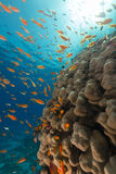 Dome coral and anthias in the Red Sea. Royalty Free Stock Photography