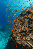 Dome coral and anthias in the Red Sea. Stock Image