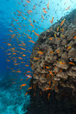 Dome coral and anthias in the Red Sea. Stock Photos