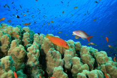 Dome Coral and Fish Royalty Free Stock Image