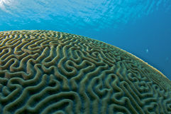 Domed Shaped Brain Coral Royalty Free Stock Images