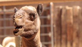 Domedary camel Camelus dromedaries. Has only one hump Stock Photo