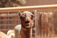 Domedary camel Camelus dromedaries. Has only one hump Royalty Free Stock Images