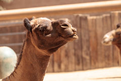 Domedary camel Camelus dromedaries. Has only one hump Royalty Free Stock Photos