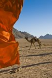 Domedary camel with red flag. Royalty Free Stock Photo