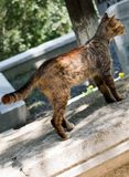 Domestic cat in view out in the street of town. Domestiat in view out in the street of the town stock photo