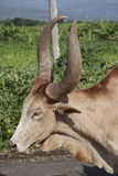 Domestic African bull Stock Image