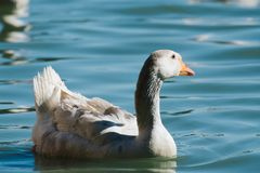 Domestic  African Goose Royalty Free Stock Photo