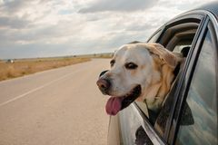 Domestic animal in a auto royalty free stock photography