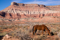 Domestic Animal Livestock Horse Grazes Desert Southwest Canyon Stock Image