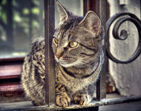 Domestic animal portrait, tabby cat Royalty Free Stock Photo