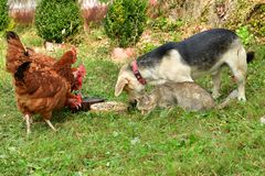 Domestic animals chicken dog and cat eating together as best friend. Dog cat and hen eating together as best friend stock photos