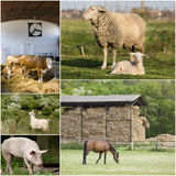 Domestic animals. Collage of different domestic animals on the farm Royalty Free Stock Image