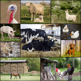 Domestic animals. Collage of different domestic animals on the farm Stock Photography