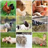 Domestic animals. Collage of farm animals (rooster,cow,piglet,sheep, rabbit Stock Images