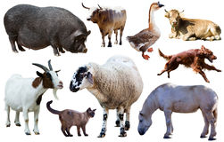 Domestic animals collection. Assortment of different pet and farm animals isolated on white background Stock Images
