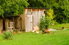 Domestic animals, common life. Domestic animals in beautiful green farmyard. Poultry, cat and dog eating together by the wooden shed on green lawn. Horizontal Royalty Free Stock Photography