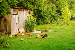 Domestic animals in farmyard Royalty Free Stock Photo