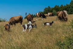 Domestic animals giving milk goats and cows graze on the slope with dry grass next to trees against the blue sky. For your design royalty free stock image