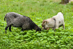 Domestic animals goat and sheep grazing Royalty Free Stock Photos