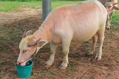 Domestic Asian Pink Water buffalo Stock Photo