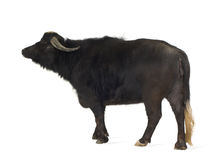 Domestic Asian Water buffalo - Bubalus bubalis Royalty Free Stock Photos