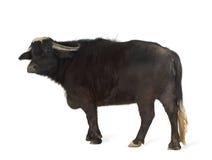 Domestic Asian Water buffalo - Bubalus bubalis