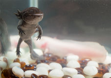 Domestic axolotl in the aquarium Royalty Free Stock Photography