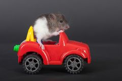 Domestic baby rat Royalty Free Stock Image