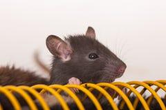 Domestic baby rat Stock Image