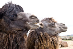 Domestic bactrian camel Stock Photography