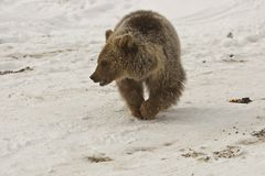 Domestic bear kid Royalty Free Stock Image