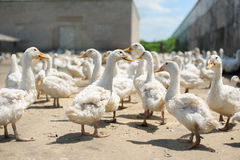 Domestic bird. Duck farm. Stock Images