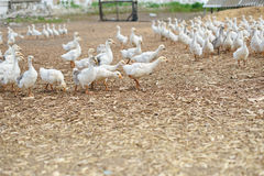 Domestic bird. Goose farm. Royalty Free Stock Photography